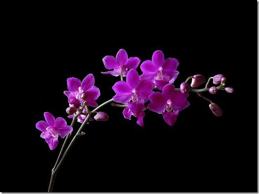 hoa_PhongLan_orchid_MyNhan1_thumb.jpg